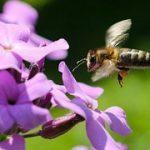 eengezondleven-be honing gezond Honingbij