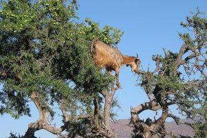eengezondleven-be geit-in-arganboom zuivere arganolie