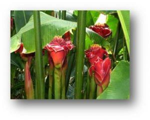 eengezondleven-be gember-bloem-a