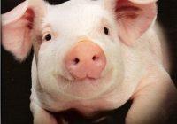 eengezondleven.be piggy 234x200