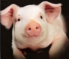 eengezondleven.be varkensvlees ongezond piggy 234x200